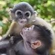 Thailandia, le scimmiette orfane inseparabili: private dai bracconieri delle mamme